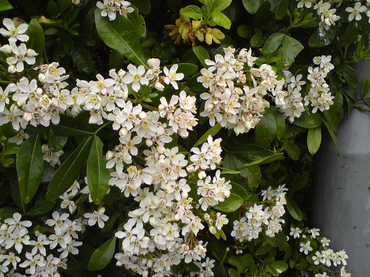Spring flowering shrubs - Blooming shrubs ...