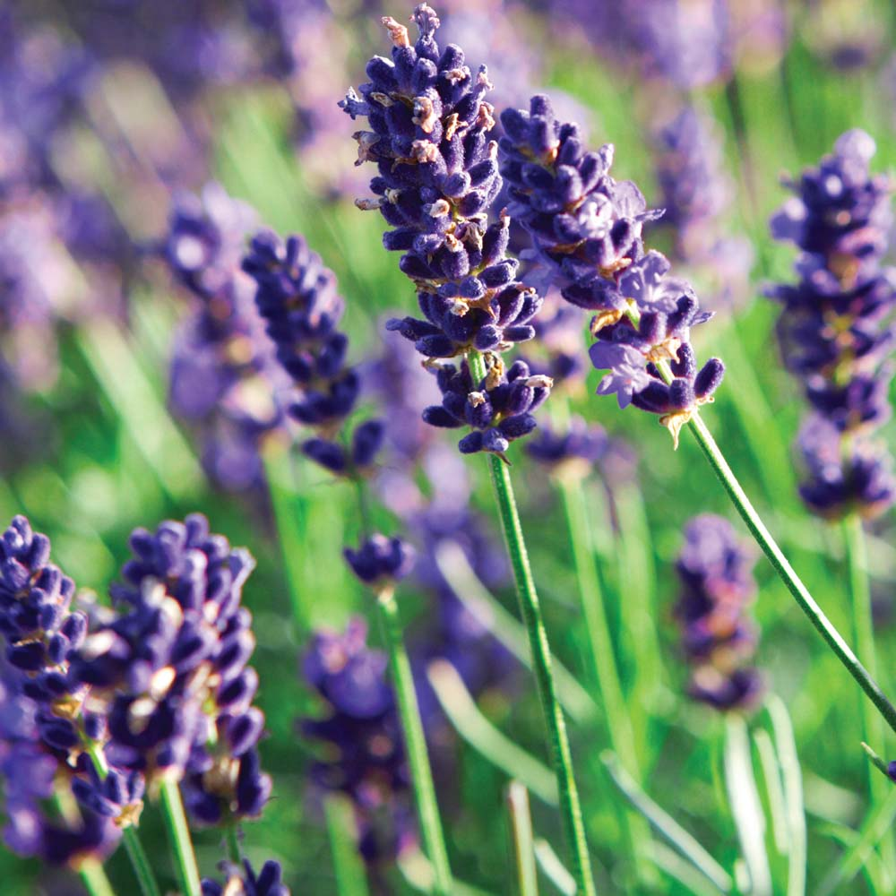 how to grow lavender plant in india