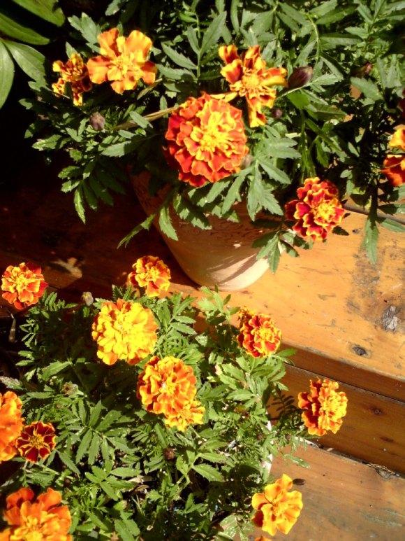 marigolds5