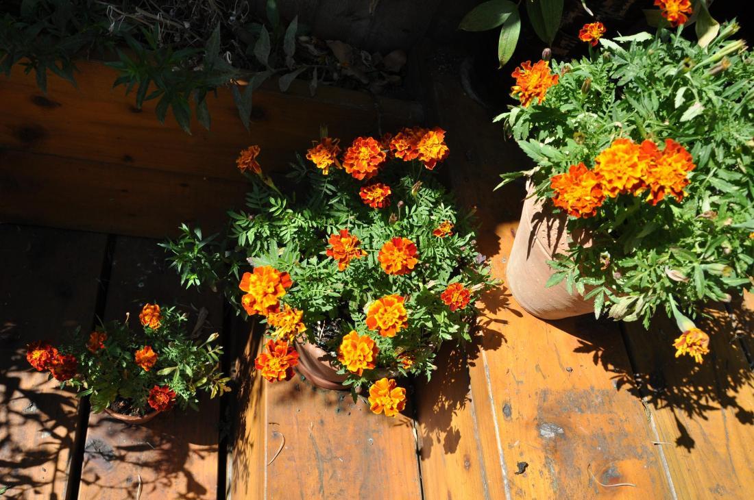 marigolds pots