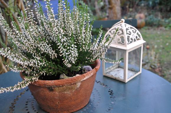 White heather in an old terracotta pot sets the perfect winter scene on the patio