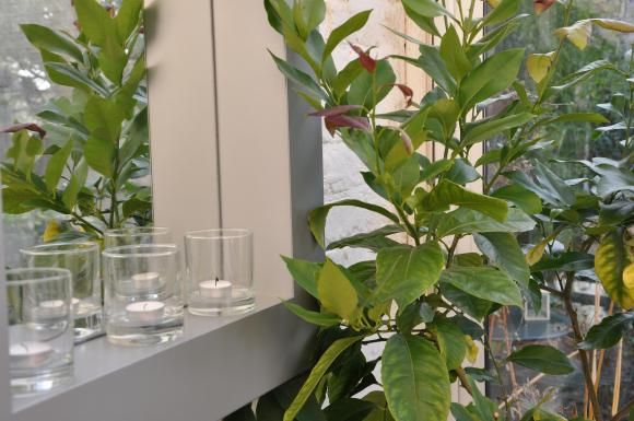 The lemon tree won't survive    freezing temperatures so safer to take it inside as the temperatures plumet