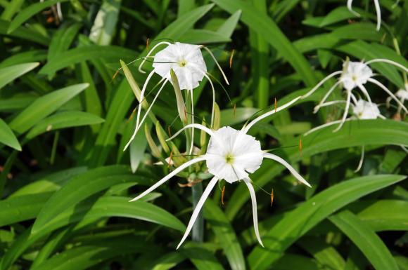 vietnam lillies