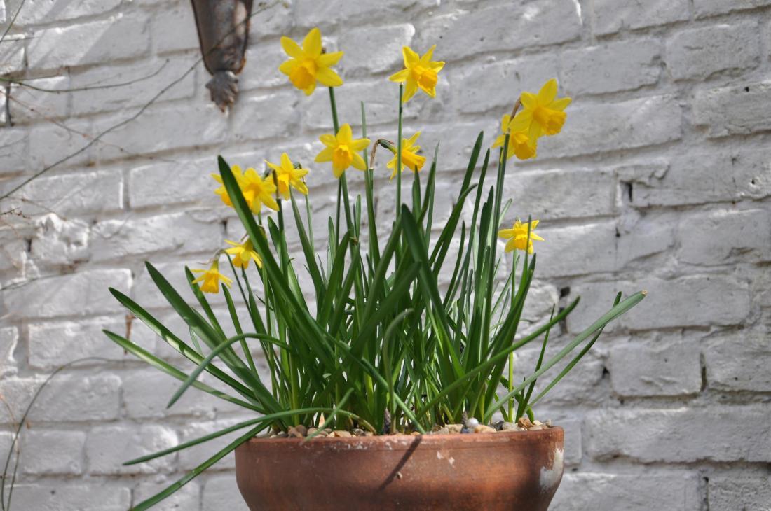 daffodil bowl 2