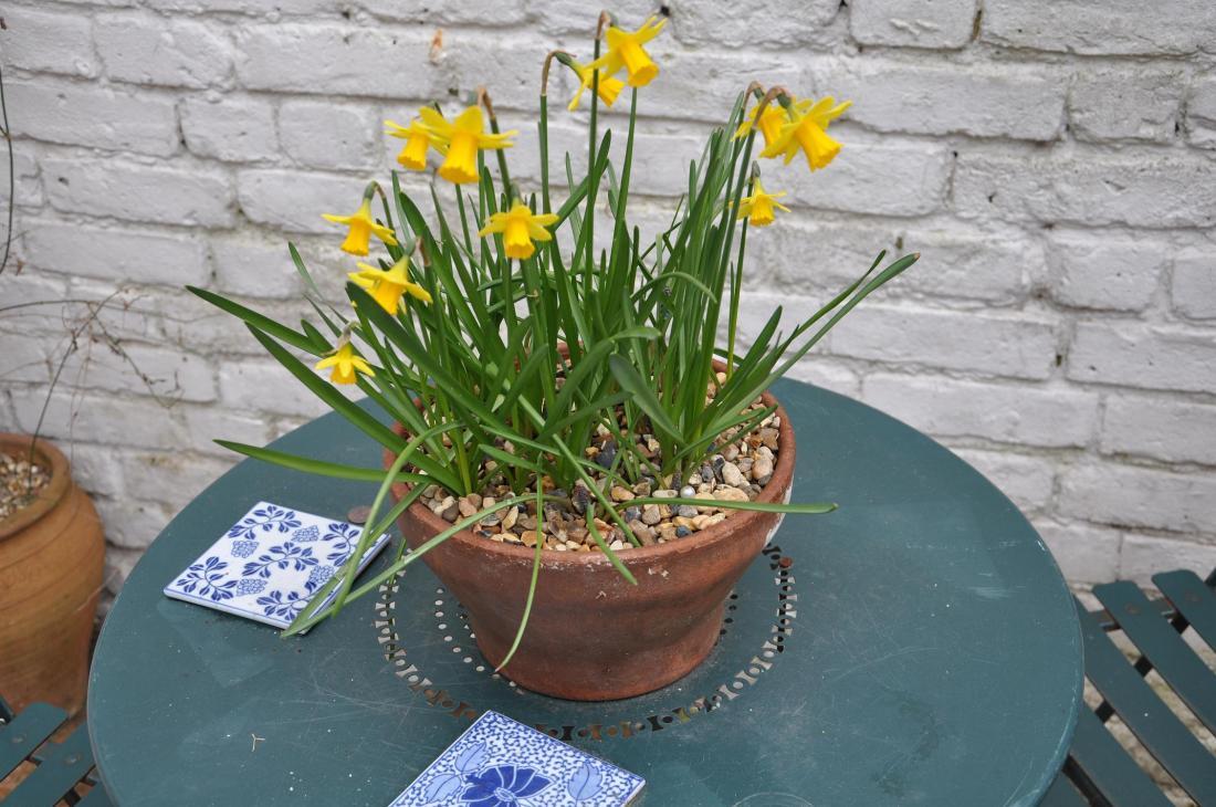 daffodil bowl