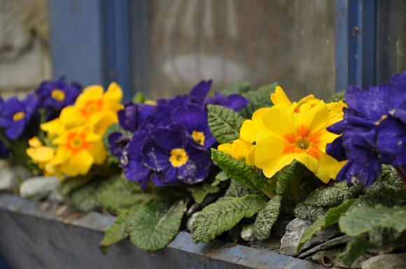 easter primrose window box
