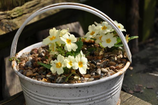 pale of primroses