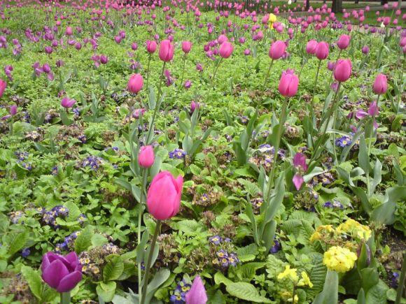 Tulip expanse