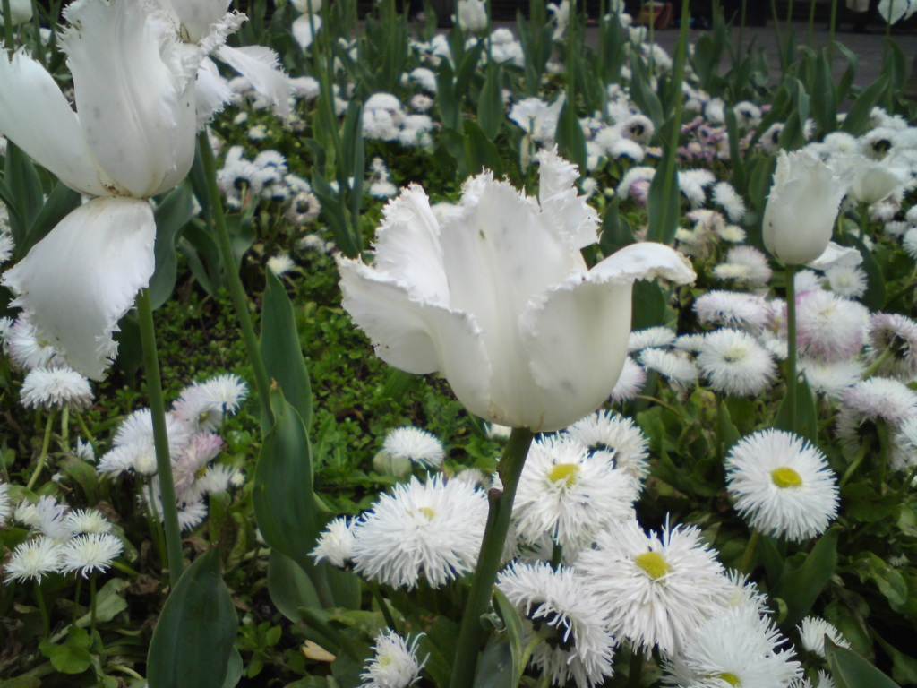 tulips and daisy white2