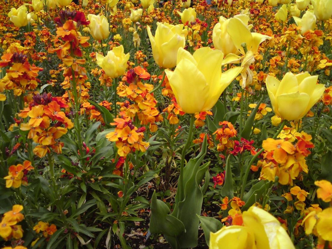 tulips and wallflowers