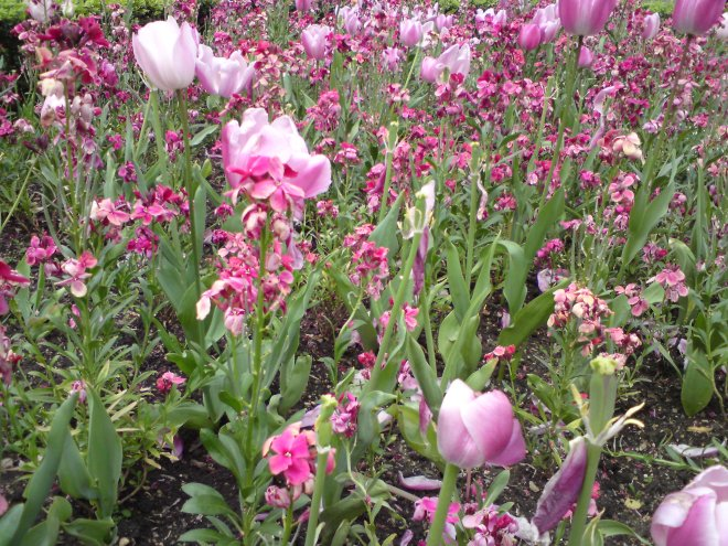 tulips and wallflowrers pink