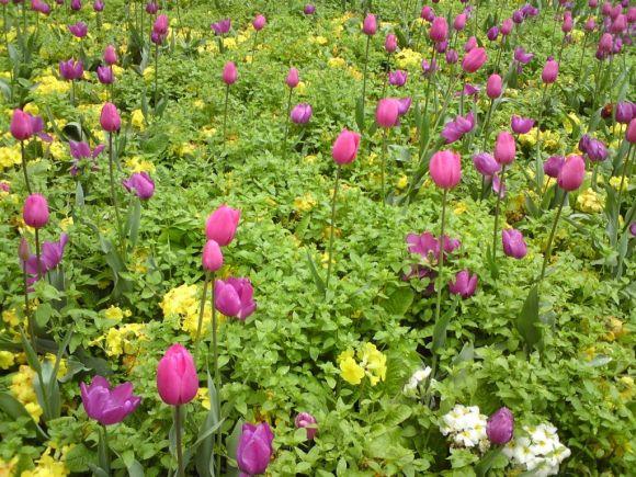 tulips explanse3