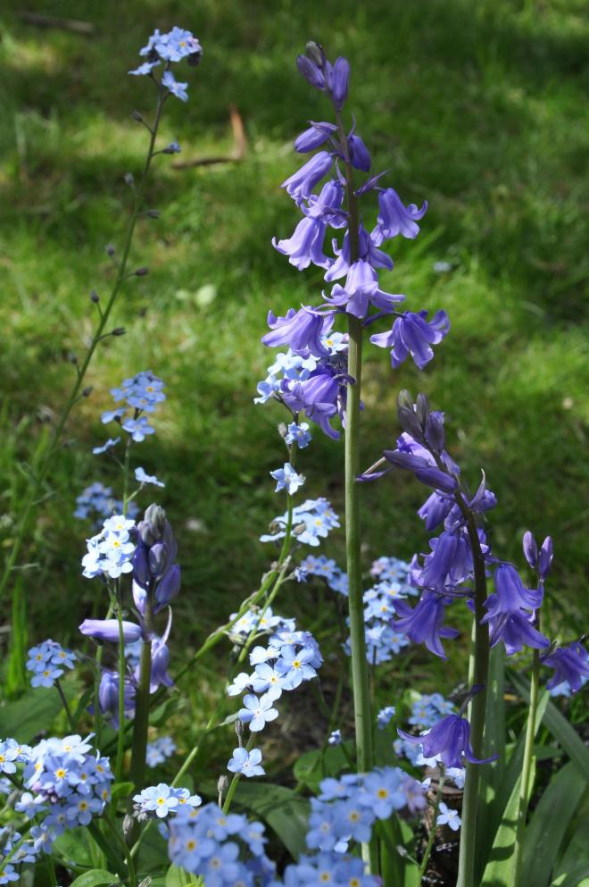 bluebells and forget me nots