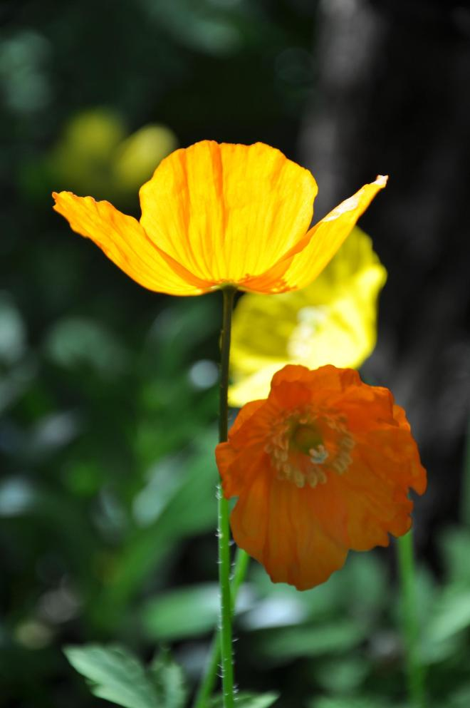 poppies yellow and orange