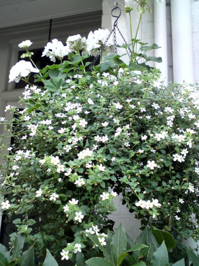 hanging basket of bacopa and geraniums
