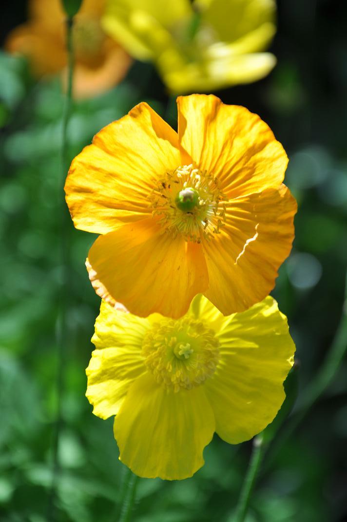 golden wonder orange and yellow poppes2