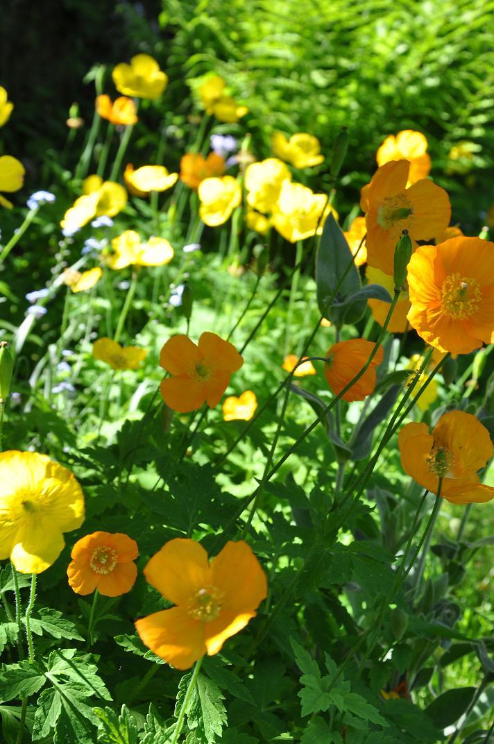 golden wonder yellow and orange poppies